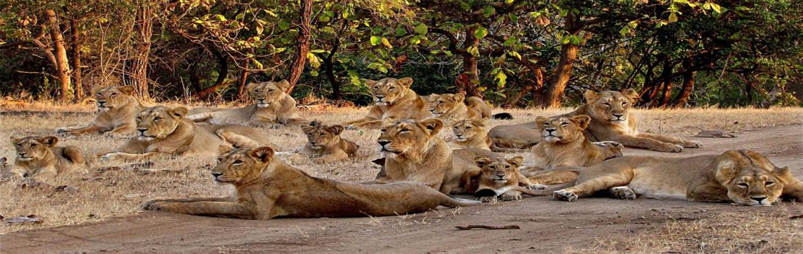 Book Online Tickets for GIR WILDLIFE TOUR, Pune. Overview: The Gir National Park and Gir Wildlife sanctuary are located about 65 km south east in the Junagadh district of Gujarat. Gir National Park is one of the India's finest wildlife sanctuaries located in Gujarat. This national park is set up