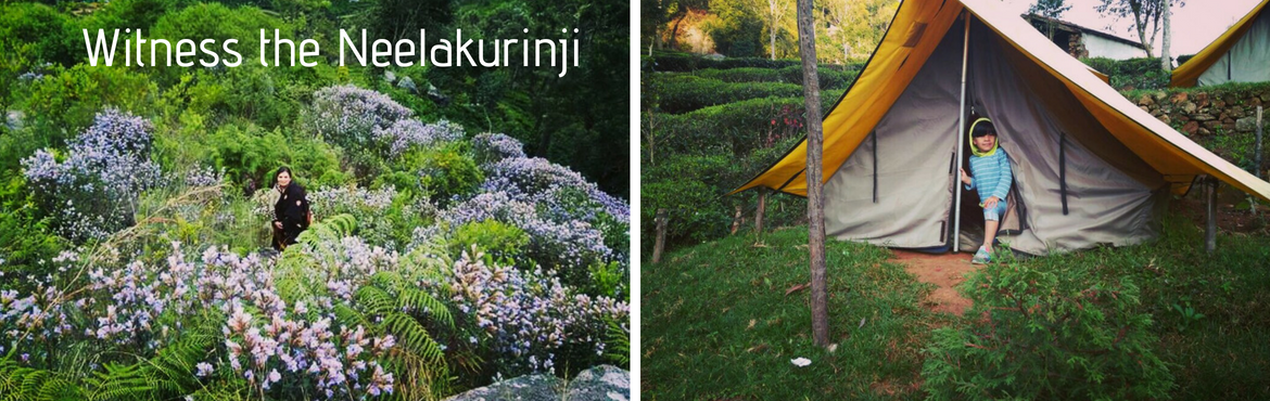 Book Online Tickets for Experience the Neelakurinji - Kotagiri, Bengaluru.  Highlights:Camping in the middle of a Tea estate. Hike through the tea gardens to find the beautiful Catherine waterfalls, make sure not to miss the waterfall massage and bath. Sit back, relax and sing a few songs and enjoy a campfire