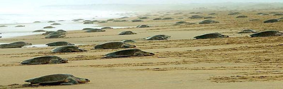 Book Online Tickets for Velas Turtle Festival 2019, Pune. Time for Velas Turtle Fest - 2019.Velas beach where, this time, every year Olive Ridley Turtle eggs hatch and thousands of cute little baby Olive Ridleys are born and the toddlers make their way to their permanent home - the sea! To see a baby
