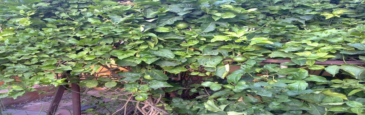 Book Online Tickets for Garden Tour of Urban Edible garden - Wit, Bengaluru. Agenda: 1. pluck and enjoy/eat the fruits from the trees based on  season2. option to process them into pickles/juices/ferment etc.,3. learn basic concepts of urban integrated gardens4. understand the challenges of urban integrated gardens5. und