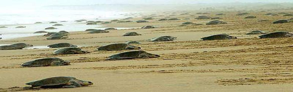 Book Online Tickets for Velas Turtle Festival 2021 - A Beach Tri, Pune. Hello Travellers, Welcome to the \'PlacesAroundPune\'(Places Around Pune). Time for Velas Turtle Fest - 2021.  About:Velas beach where, this time, every year Olive Ridley Turtle eggs hatch and thousands of cute little baby Olive Ridleys a