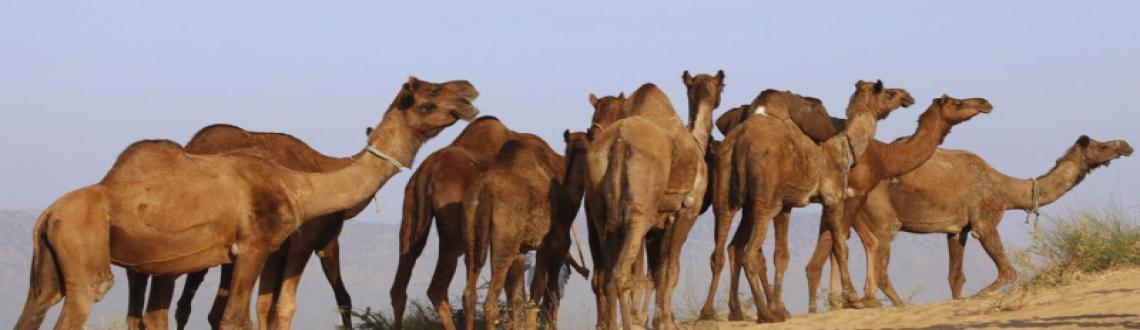 Pushkar Camel Fair 2014-Photography Expedition