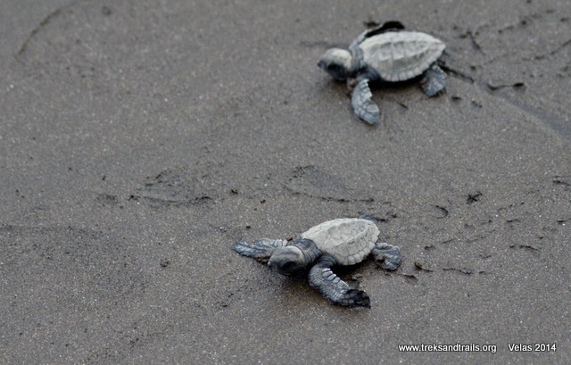 Velas Turtle Festival 2015 - 14 March 2015 to Sunday 15 March 2015