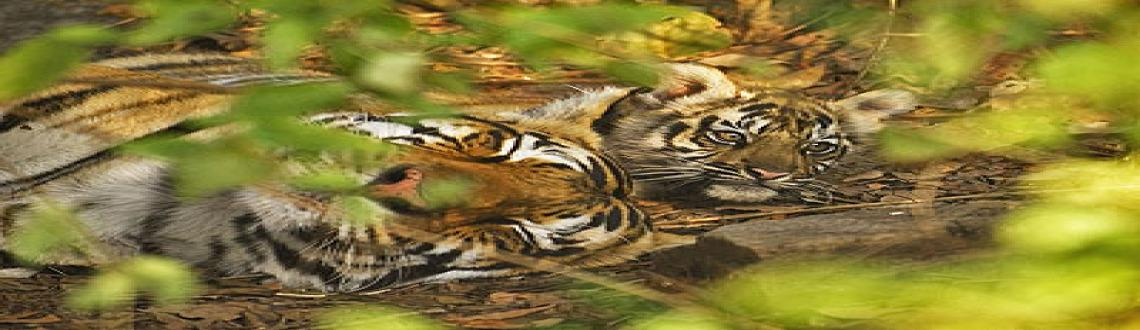 TreksandTrails India  Monsoon Tadoba Andhari Tiger Safari - September 18th, 19th  20th