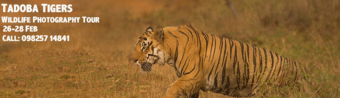 Tadoba Tigers - Wildlife Photography Tour