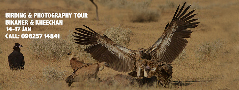 "Book Online Tickets for Birding and Photography Tour at Bikaner , . ""Raptor Mania"" at Bikaner is one of the most thrilling birding experiences creating memories that last a lifetime! Join us to witness the reign of the majestic Birds of Prey and photograph their sheer power and beauty. With their sha"