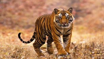 Tiger Safari in Bandhavgarh